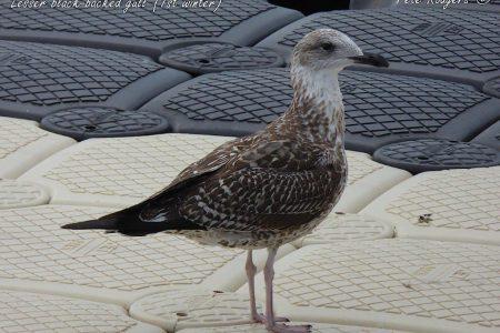 Lesser black-backed gull (1a), (1st winter), Bermuda. 18.12.2018