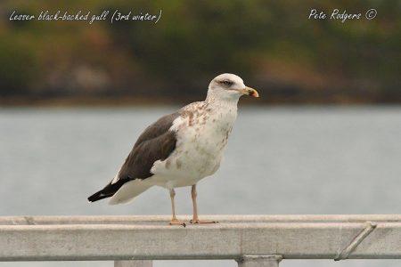 Lesser black-backed gull (8a) (3rd winter), Bermuda. 19.12.2018