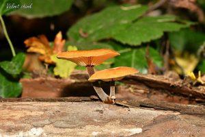 Fungi, Velvet Shank